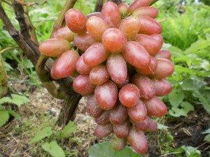 Vīnogu dārs